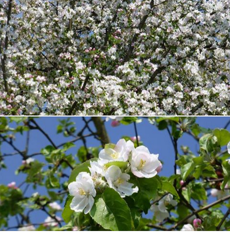 Baumblütenherzerlswing