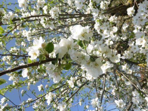 Baumblüten-Traumtage und Onlinekurs-Fortschritt